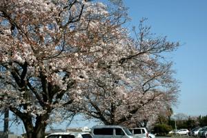 H26 3 27 桜日記 005 加工