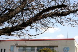 H26 3 22 桜つぼみ 加工2