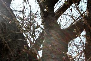H26 3 22 桜つぼみ 加工1